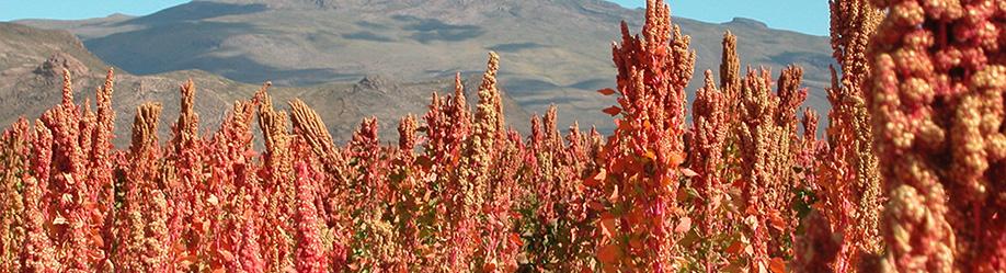 quinoa_products